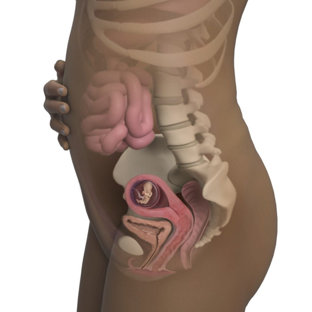 12. hafta hamilelik